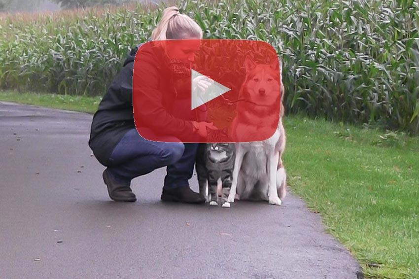 husky erziehung